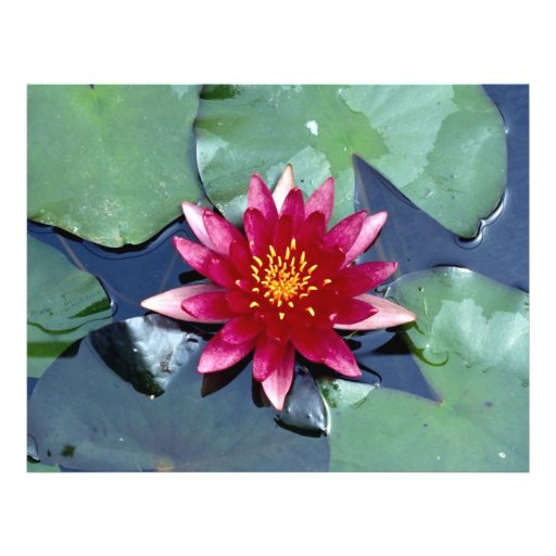 Nymphaea atropuperea, red, hardy water lily personalized flyer