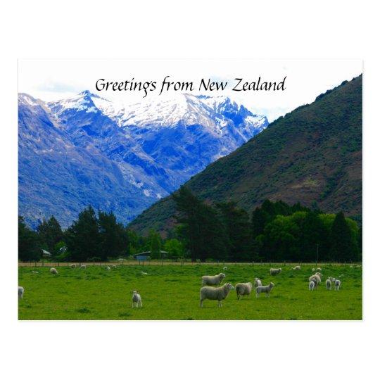 nz sheepscape postcard