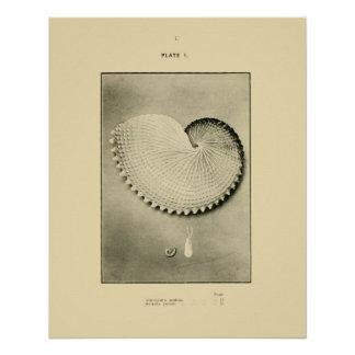NZ Shells - Argonauta nodosa and Spirula Peroni