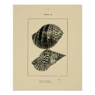 NZ Shells - Dolium variegatum, Lotorium rubicundum