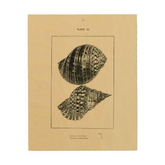 NZ Shells - Dolium variegatum, Lotorium rubicundum Wood Print