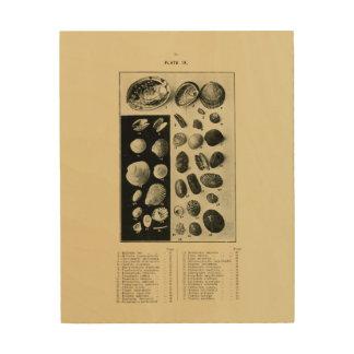 NZ Shells - Paua etc. Wood Canvases