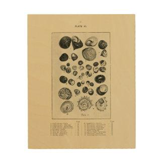 NZ Shells Wood Canvases