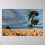 Oak tree in a wheat field poster