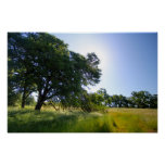 Oak Tree in Meadow, Spring Poster