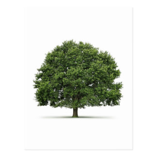 Oak Tree Postcard