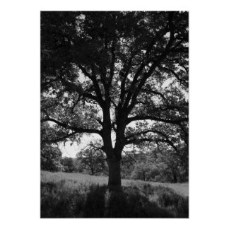 Oak Tree, Spring Meadow, Black and White Poster