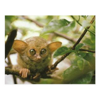Oceania, Indonesia, Sulawesi. Tarsier tarsius Postcard