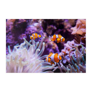 Ocellaris Clownfish | Amphiprion Ocellaris Acrylic Wall Art