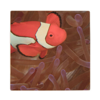 Ocellated Anemonefish Amphiprion ocellaris) Wood Coaster