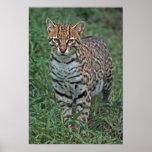 OCELOT Leopardus pardalis) CENTRAL AMERICA
