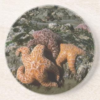 Ochre Seastars Pisaster ochraceous) Shi-Shi Coaster