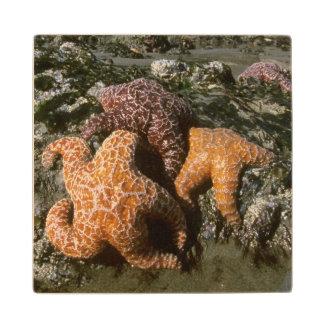 Ochre Seastars Pisaster ochraceous) Shi-Shi Wood Coaster