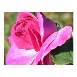 October Pink Rose Postcard