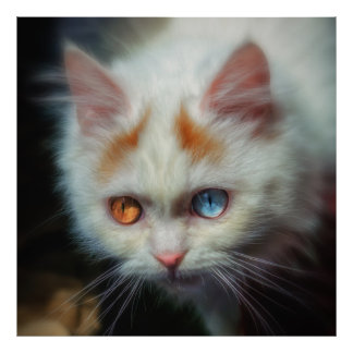 Odd-Eyed Persian Kitten Poster