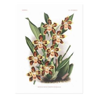 Odontoglossum Thompsonianum ; Postcard