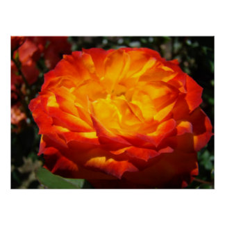 OFFICE ARTWORK Red Orange Rose Framed Prints Poster
