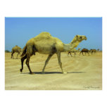 Oh happy day - camels in the desert posters