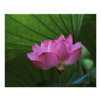 Ohga Lotus, Sankei-en Garden, Yokohama, Japan Poster