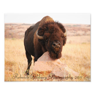 Oklahoma Bison, Rebecca Alsbury Photography 2011 Photographic Print