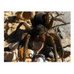 Oklahoma,Spider Postcard