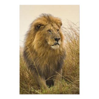 Old adult black maned Lion, Masai Mara Game Photographic Print