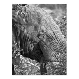 Old African Elephant Postcard