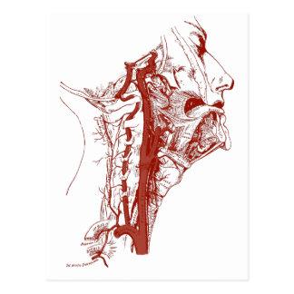 Old Anatomy Illustration Human vertebral arteries Postcard