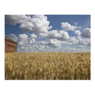 Old Barn in Wheat Field 2 Postcard