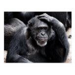 Old Chimpanzee  postcard