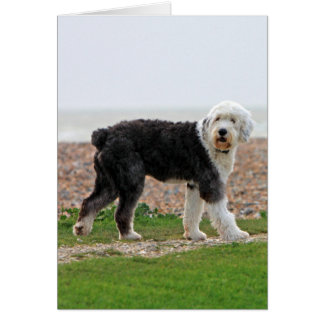 Old English Sheepdog dog blank note card, photo Card