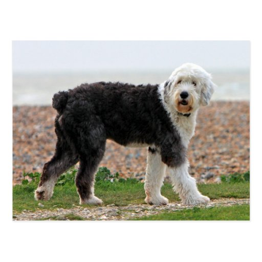 Old English Sheepdog dog postcard, beautiful photo