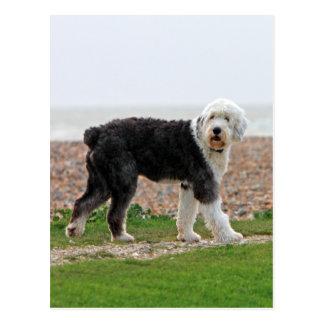 Old English Sheepdog dog postcard, beautiful photo Postcard