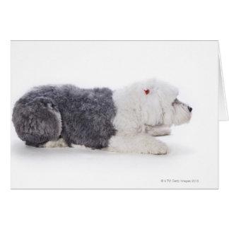 Old English Sheepdog on white background Card
