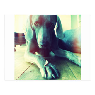 Old fashioned Weimaraner photo Postcard