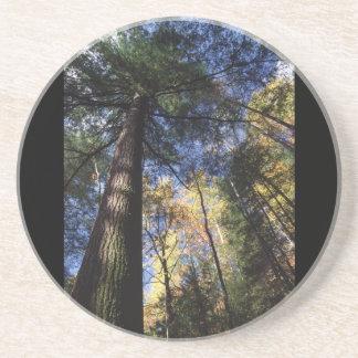 old growth hemlock tree beverage coaster