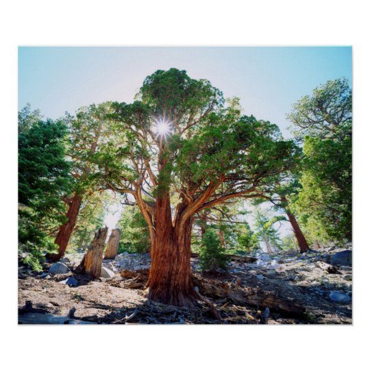 Old-growth Juniper tree in the Sierras Poster