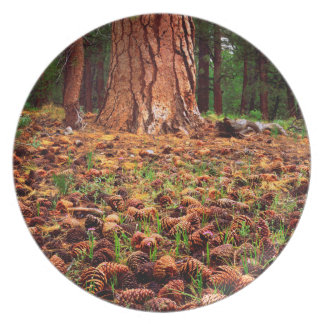 Old-growth Ponderosa tree with pine cones Plate
