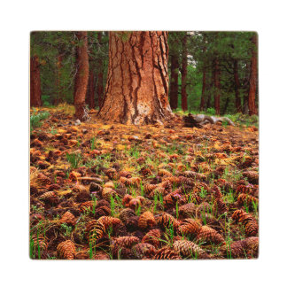 Old-growth Ponderosa tree with pine cones Wood Coaster