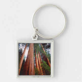 Old-growth Sequoia Redwood trees Key Ring