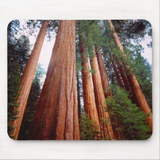 Old-growth Sequoia Redwood trees Mouse Mat