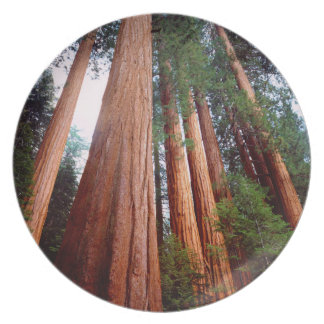 Old-growth Sequoia Redwood trees Plate