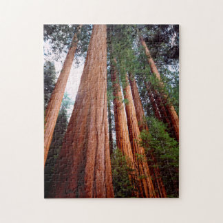 Old-growth Sequoia Redwood trees Puzzle