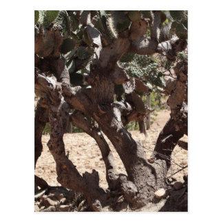 Old Opuntia Cactus Postcard