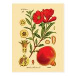 Old Pomegranate Illustration Postcard