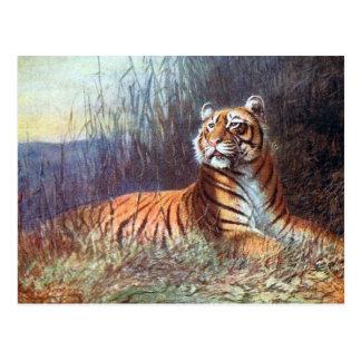 Old Postcard - Bengal Tiger