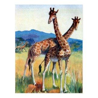 Old Postcard - Giraffes