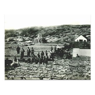 Old Postcard - Newfoundland, Drying Cod