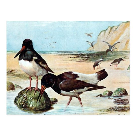 Old Postcard - Oyster Catcher