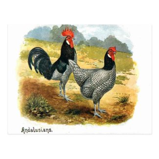 Old Postcard - Poultry - Andalusians